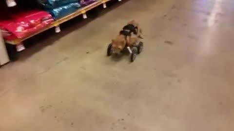 Un gato rescatado y sin patitas delanteras salta hasta robarse el corazón de una mujer