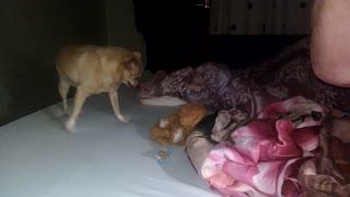 Dog loves bear toy!