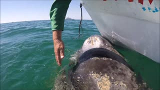 Young Gray Whale Visits our Boat