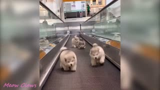Baby Alaskan Malamute Cutest and Funniest Moments New Compilation Laugh Aloud
