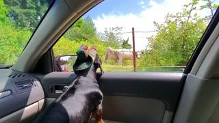 Cowboy jack vs cow