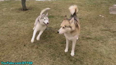 Flying Husky Puppy