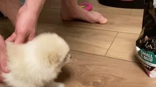 Impatient Pomeranian is Anxious for Eats