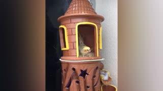 Rapunzel cockatiel in his small castle