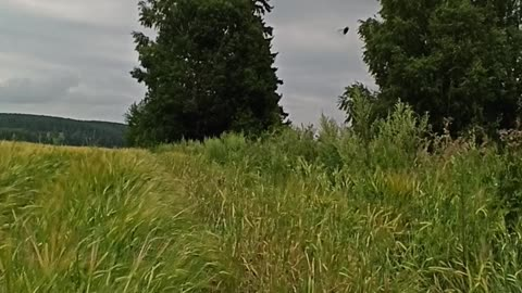 Relaxing video - forest and russian field