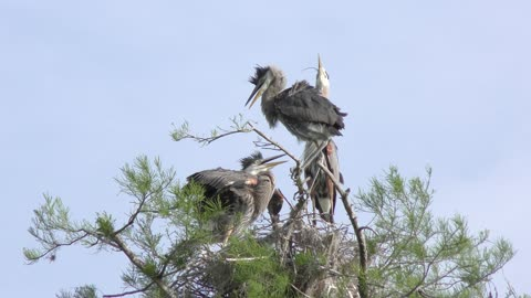 Great blue herons in a nest