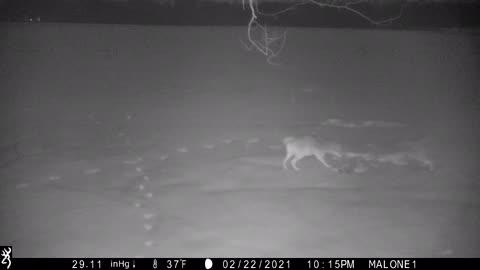 Raccoon vs Coyotes
