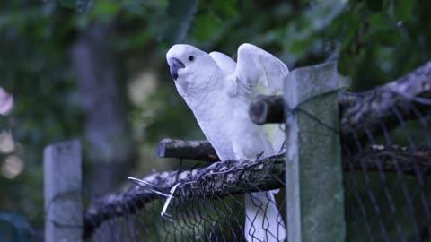 a white parrot
