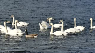 Swan in Group Looking like a Family