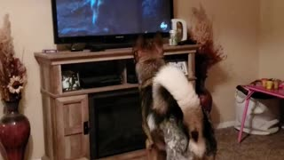 Dog watches tv