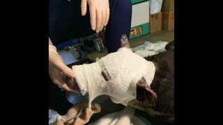 Hero dog is now in recovery mode from severe burns after saving terminally ill people