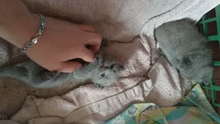 Playing with little two week old British kittens