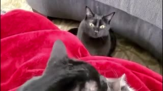 Angry Cat, because jealous