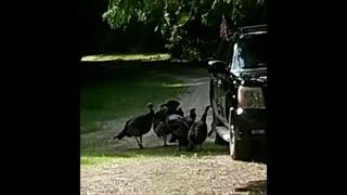 Wild Turkeys + Shiny Car = Amazement