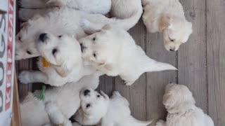 English Cream Golden Retriever Puppies EVERYWHERE!