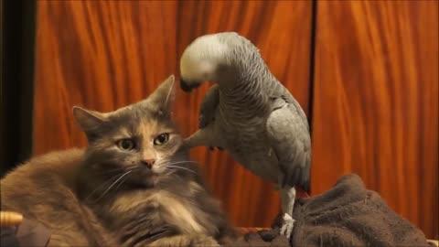 The parrot irritates the cat