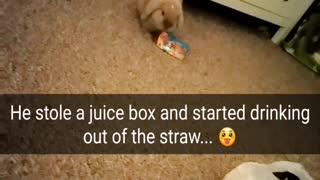 Bunny Drinks with Straw!