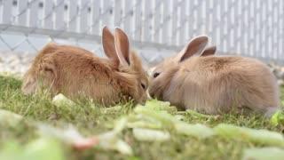 cute little rabbit puppies eating