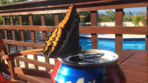 A Butterfly is drinking my can of beer!