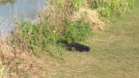 Large american alligator crossing a trail
