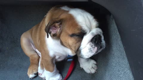This Adorable Puppy Falls Asleep While Sitting