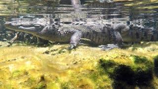Divers encounter a large crocodile in a cenote river in Mexico