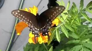 Monarch in our garden