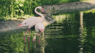 2 Flamingos, Dancing