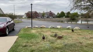 "Feeding time for the ""wild"" ducks!"