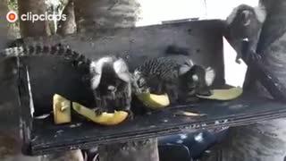 monkey not cat