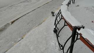 Beautiful pigeons walk in winter weather.
