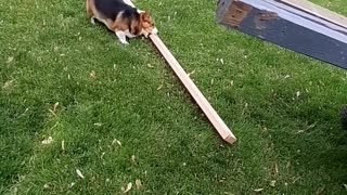 Huckleberry the Corgi Claims 2x4 as His Stick