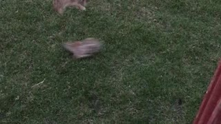 Bunnies Play Leap Frog in Backyard