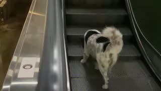 Dog Goes Up the Down Escalator