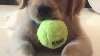 DOG IS EATING TENNIS BALL