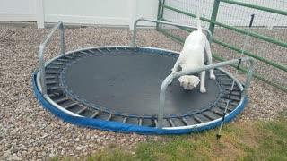 American bulldog trying to jump on upsidown trampoline