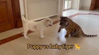 Puppy vs baby tiger fighting fun