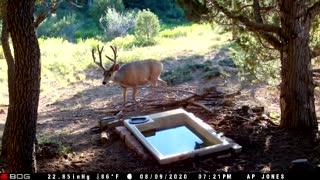 Mule deer buck coming to water catchment