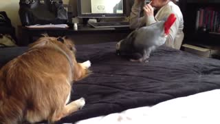 Indian Parrot plays with dog without fear it's funny