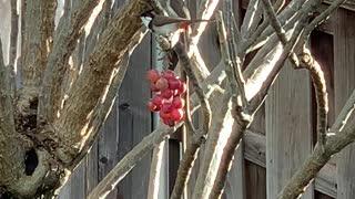 # Back Yard Birds Hawai'i Red Whiskered Bulbul's