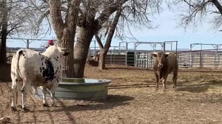Don't Turn Your Back on a Bull