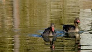 Goose Greylag