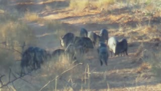 South Texas Chaparral WMA Javelina hunt * caution impact shots !! *