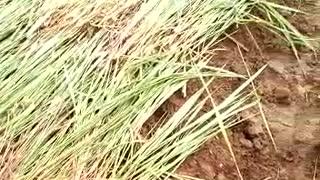Africa Uganda farms