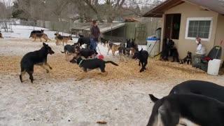German Shepherds playing