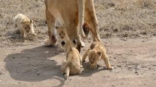 Adorable Six Lion Cubs enjoy their first outdoor adventure