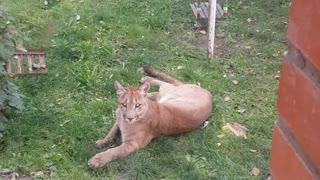 Escaped Pet Puma Attacks Family Dog
