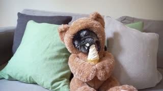 Teddy Bear Pug Loves Ice Cream