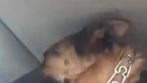 Dog has hilarious reaction when she sees her daycare