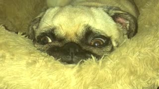Pug can't contain excitement upon owner's presence